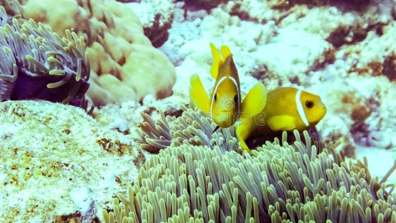 Sluit omhoog van anemoonvissen in Eilat, Israël royalty-vrije stock foto