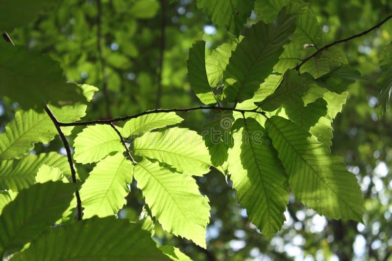 Sluit omhoog van beukbladeren in zonlicht dat in bos wordt benadrukt royalty-vrije stock foto's