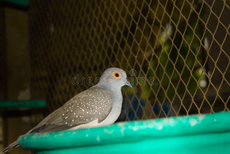 Sluit omhoog van bevlekte duif in een kooi royalty-vrije stock fotografie