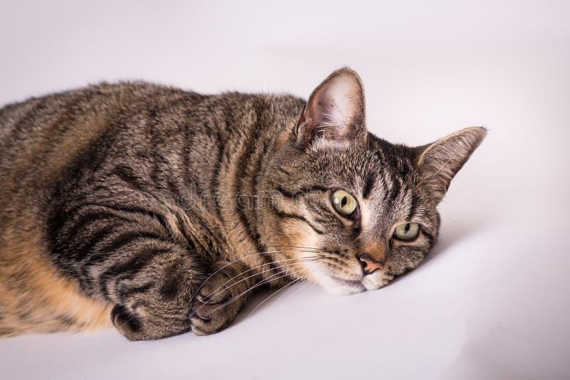 Sluit omhoog van binnenlandse gestreepte kat leggend hoofd benedendiepoten onder het rusten worden gekruld royalty-vrije stock afbeelding
