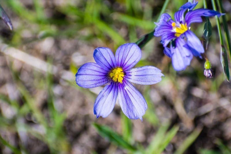Sluit omhoog van blauw-Eyed Gras (Sisyrinchium-bellum) wildflower bloeiend in de lente, baaigebied de Zuid- van San Francisco, Sa stock afbeelding