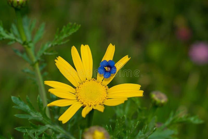 Sluit omhoog van blauwe bloem op een gele madeliefjebloem stock afbeelding