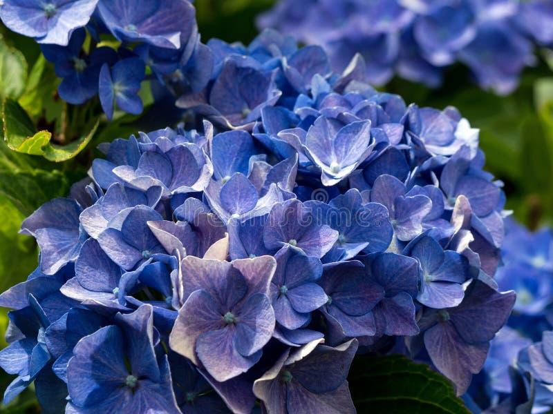 Sluit omhoog van blauwe hydrangea hortensiabloem stock foto's