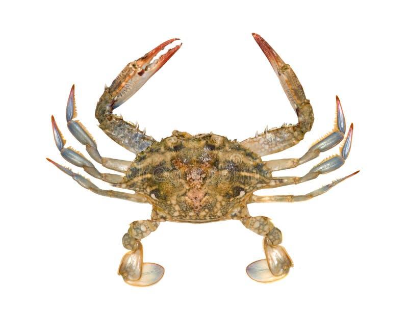 Sluit omhoog van blauwe krab royalty-vrije stock fotografie