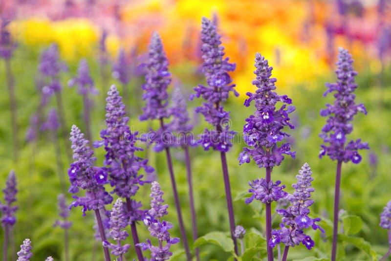 Sluit omhoog van blauwe salviabloemen stock afbeelding