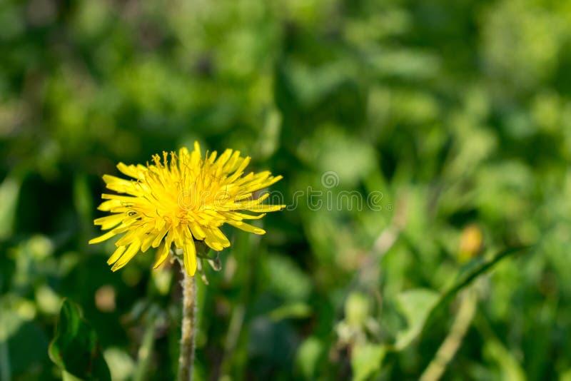 Sluit omhoog van bloeiende gele paardebloembloemen Taraxacum officinale royalty-vrije stock foto