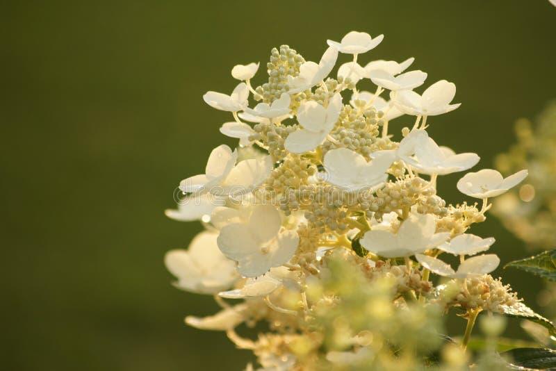 Sluit omhoog van bloeiende hydrangea hortensia, groene achtergrond stock foto