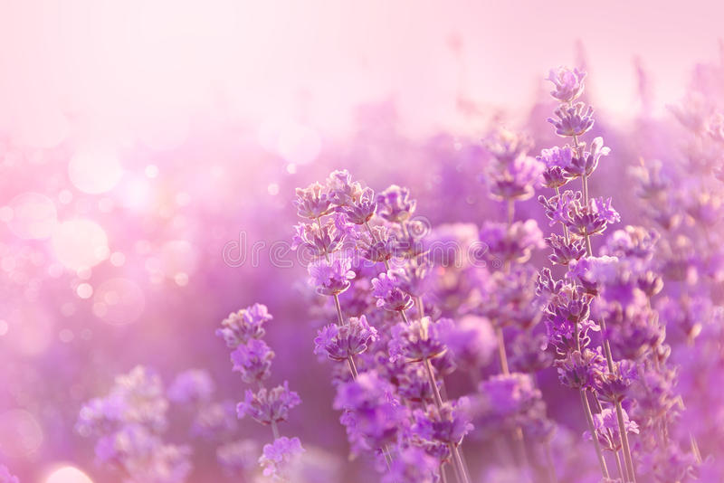 Sluit omhoog van bloeiende lavendelbloemen De lavendel bloeit achtergrond stock foto's