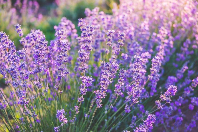Sluit omhoog van bloeiende lavendelbloemen onder de stralen van de de zomerzon stock fotografie