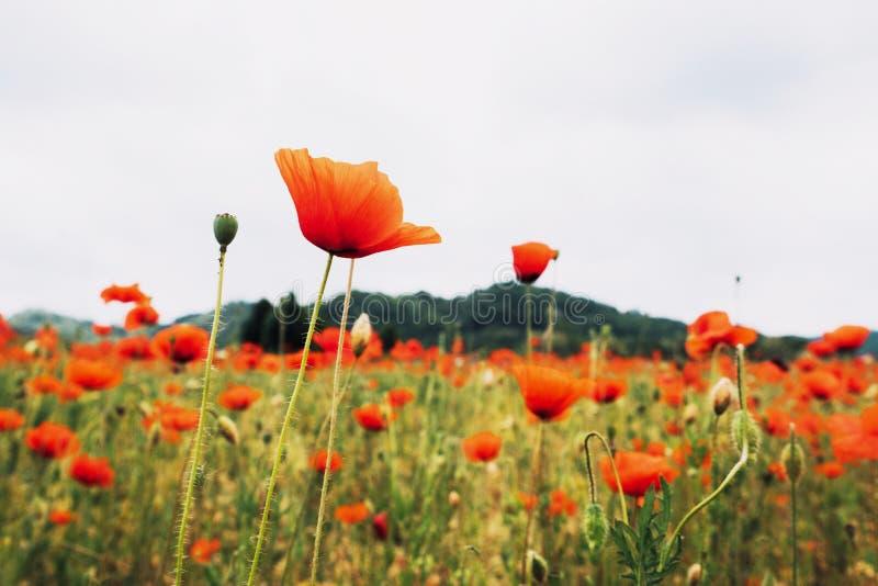 Sluit omhoog van Bloeiende Rode Papaverbloem De zomerweide met wildflowers in bloei Rustiek landschap royalty-vrije stock afbeelding