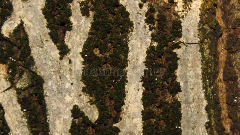 Sluit omhoog van boom van de schors de zwarte okkernoot stock afbeelding