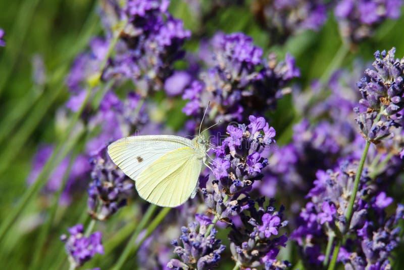 Sluit omhoog van brassicae van Pieris van de koolwitjevlinder op lilac lavendel royalty-vrije stock afbeelding