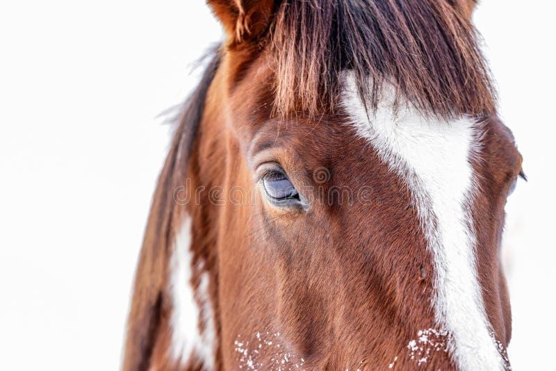 Sluit omhoog van bruin en wit die paardhoofd, detail op oog, op witte achtergrond wordt geïsoleerd royalty-vrije stock foto