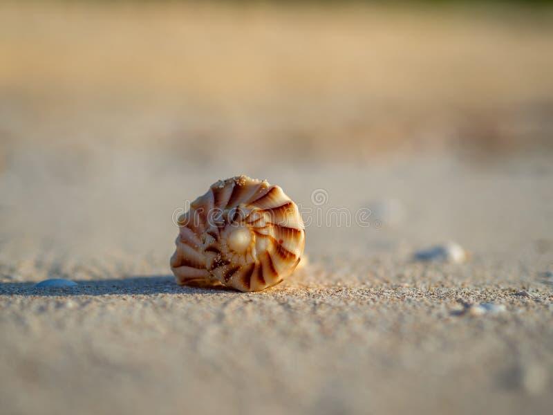 Sluit omhoog van bruine, spiraalvormige shell die op het strand rusten stock fotografie