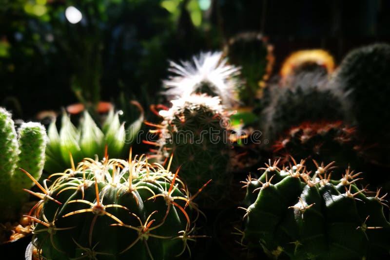 Sluit omhoog van Cactus in de tuin met ochtend natuurlijk licht stock afbeelding