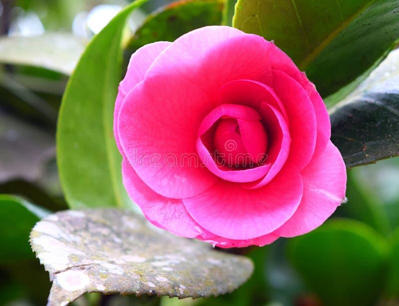 Sluit omhoog van Camellia Japonica - Roze Houten Rose Flower met Groene Bladeren op Achtergrond royalty-vrije stock afbeelding