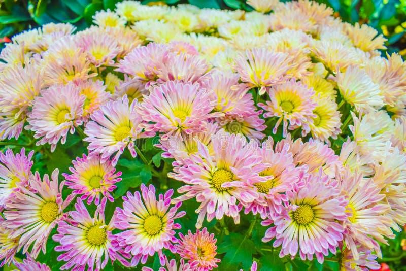 Sluit omhoog van Chrysantenroze in tuin, Mooie aardachtergrond stock fotografie