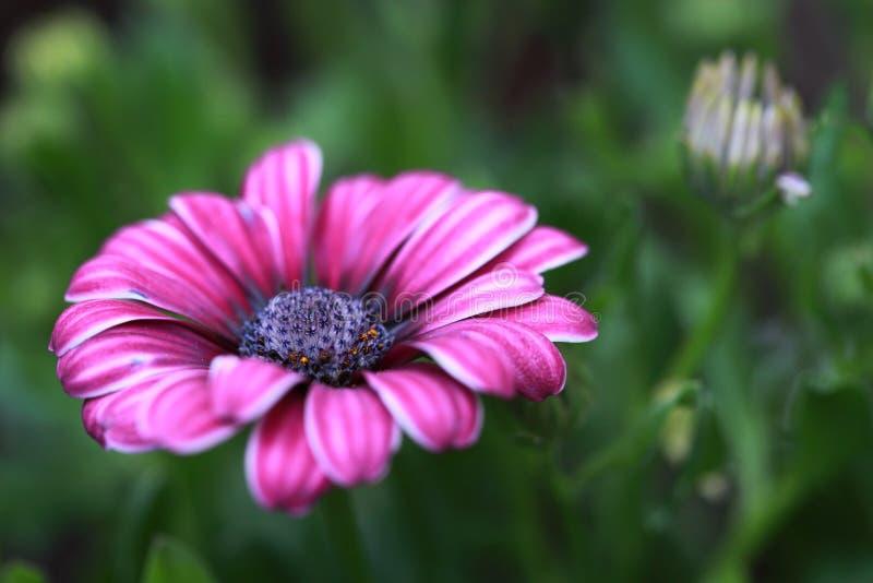 Sluit omhoog van de Afrikaanse bloem van Daisy (Osteospermum eck royalty-vrije stock fotografie