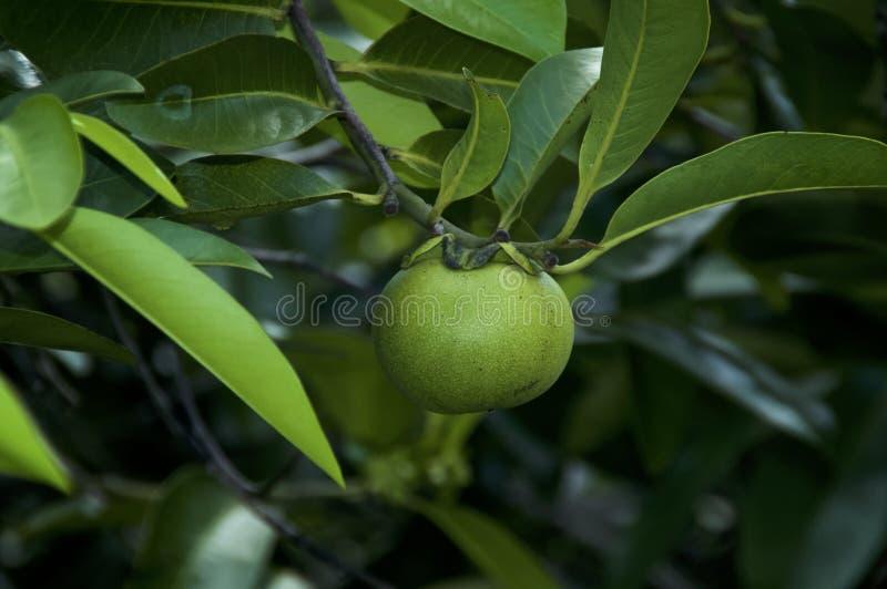 Sluit omhoog van de appelfruit van de manchineelboom stock foto