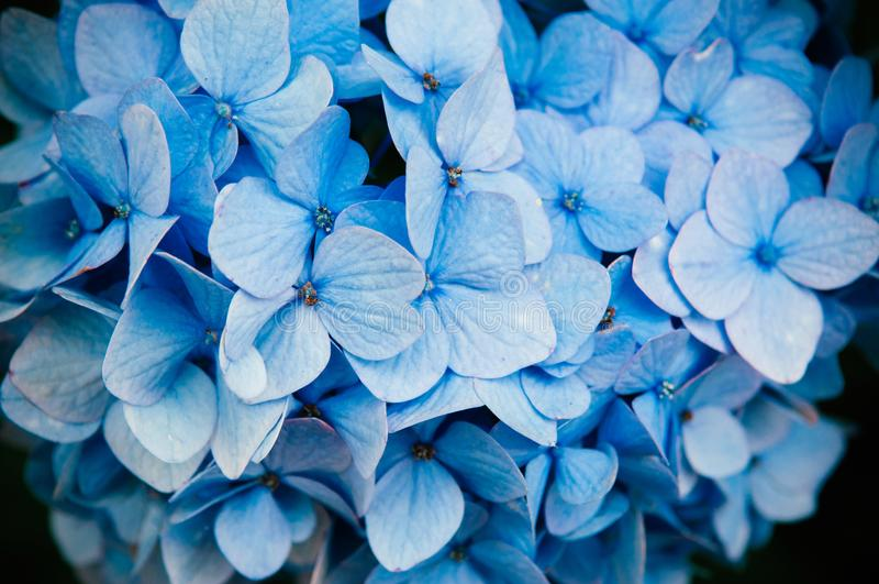 Sluit omhoog van de blauwe textuur van de hydrangea hortensiabloem stock afbeeldingen