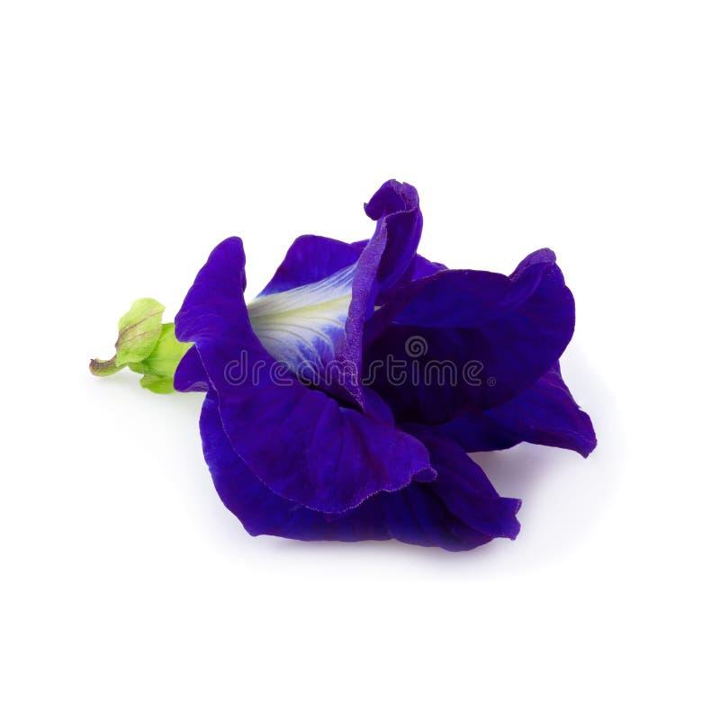 Sluit omhoog van de bloem van de Vlindererwt op een witte achtergrond wordt geïsoleerd die royalty-vrije stock afbeelding