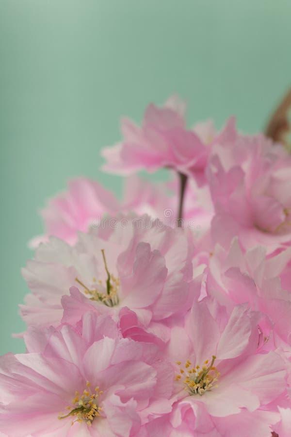 Sluit omhoog van de bloesembloemen van de de lentekers stock afbeelding