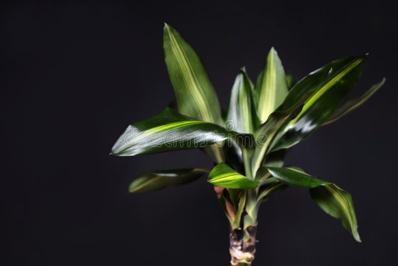 Sluit omhoog van de exotische bladeren van de het huisinstallatie van Dracaena Massangeana op donkere zwarte achtergrond royalty-vrije stock fotografie