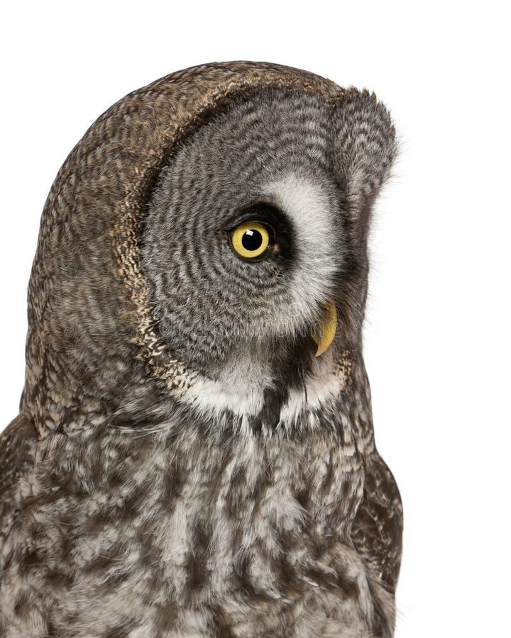 Sluit omhoog van de Grote Grey Owl of Uil van Lapland, Strix-nebulosa, een zeer grote uil stock afbeeldingen