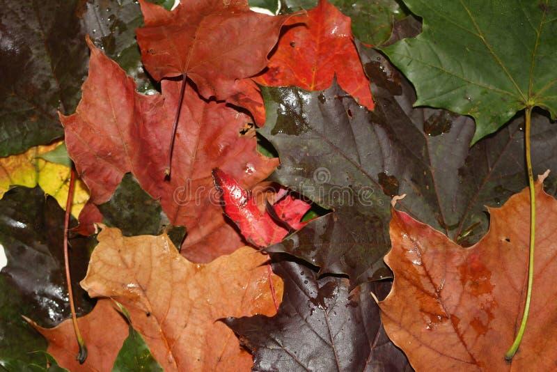 Sluit omhoog van de herfstbladeren, voor het zijn worden gekend een mooie tijd van het jaar dat thema van seizoenen het verandere stock afbeelding