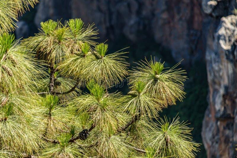 Sluit omhoog van de naalden van de Canarische pijnboomboom, die ook als Pinus canariensis, endemisch van Canarische Eilanden word royalty-vrije stock fotografie