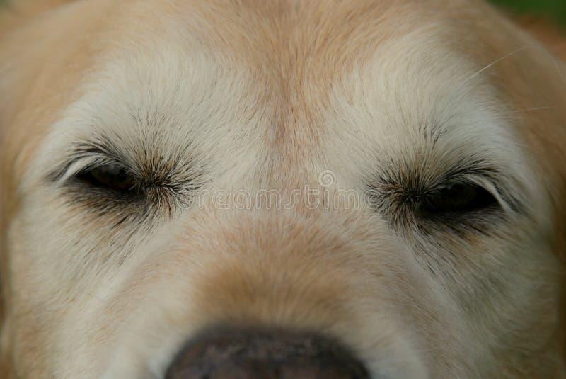 Sluit omhoog van de Oude Ogen van de Golden retrieverhond royalty-vrije stock fotografie