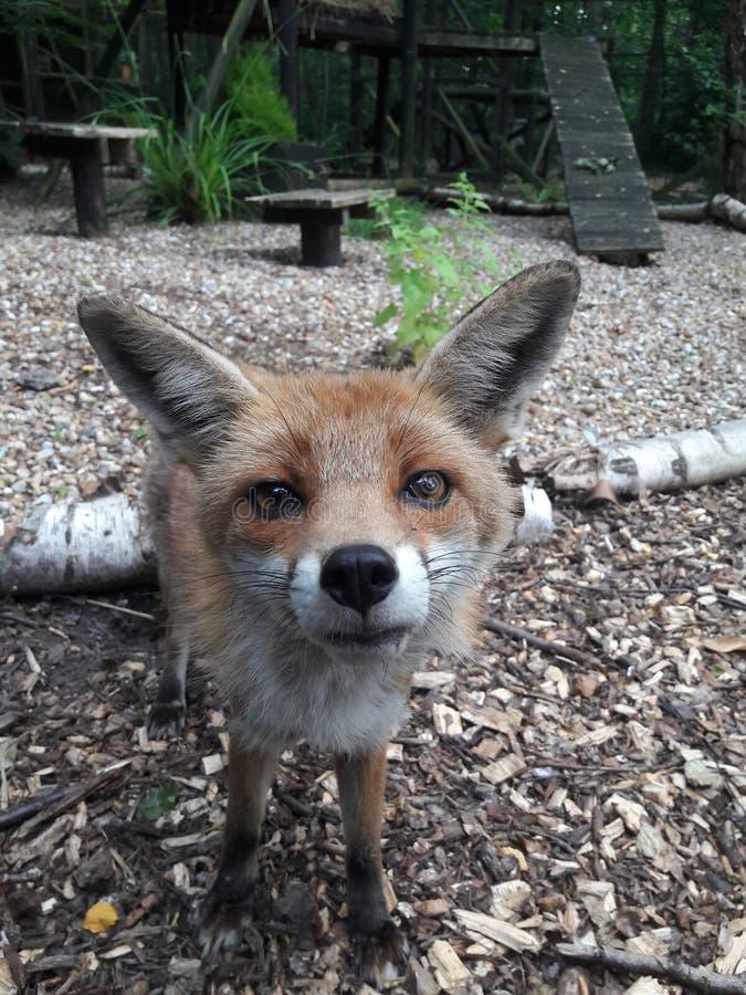 Sluit omhoog van de rode vos bij oerwoud royalty-vrije stock foto