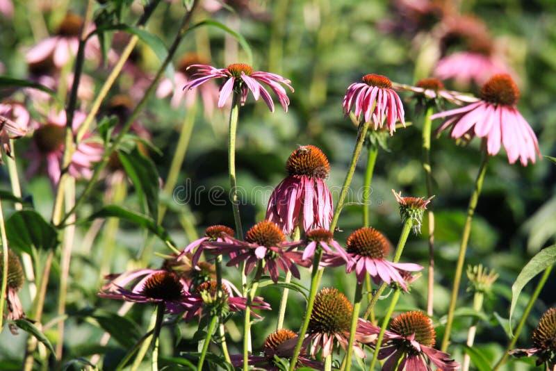 Sluit omhoog van de roze bloesems van echinaceapurpurea alvorens op heldere de herfstzon en vage groene achtergrond langzaam te v stock afbeelding