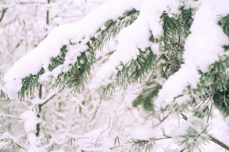 Sluit omhoog van de tak van de pijnboomboom in de sneeuw De Achtergrond van de Aard van de winter Zachte selectieve nadruk Wijnoo royalty-vrije stock fotografie