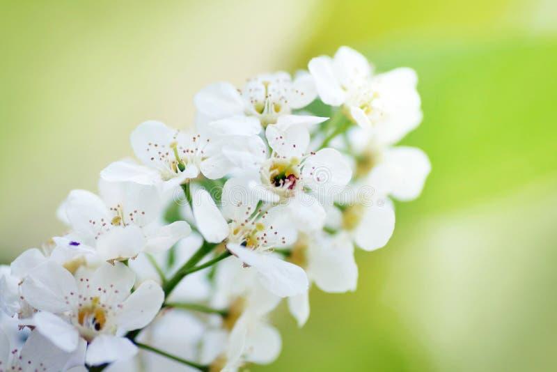 Sluit omhoog van de witte bloeiwijze van de vogelkers royalty-vrije stock afbeeldingen