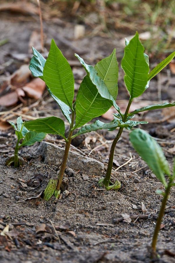 Sluit omhoog van de zachte verse groene het groeien spruit van de cachouboom stock foto's