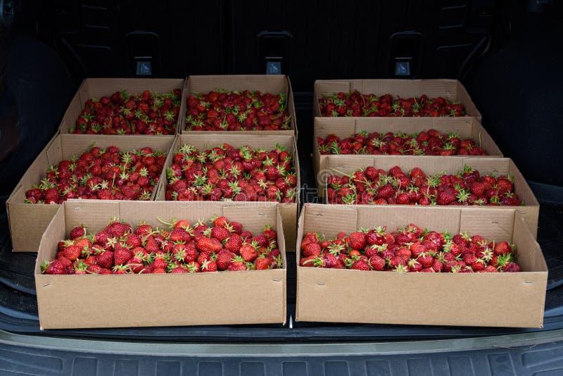 Sluit omhoog van de zomeroogst van aardbeien in kartondozen in de rug van een auto klaar voor vervoerhuis stock foto's