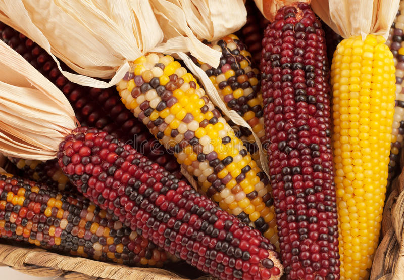 Sluit omhoog van Droge Maïs in het Seizoen van de Daling stock afbeelding