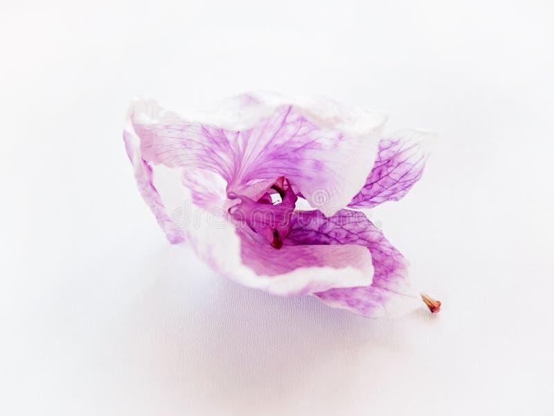 Sluit omhoog van droge purpere bloemorchidee op witte achtergrond, selectieve nadruk stock afbeelding