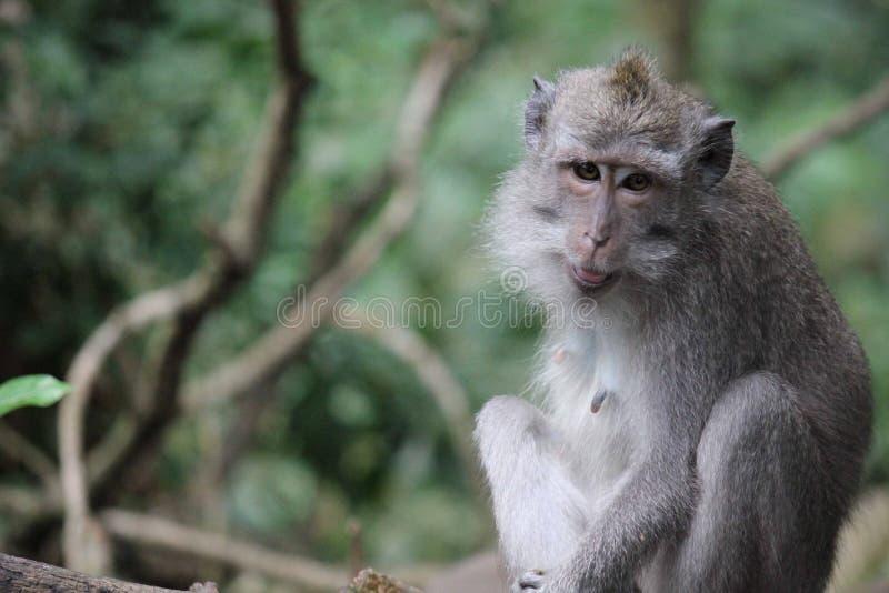 Sluit omhoog van een aap in het Heilige Bos van Ubud stock foto