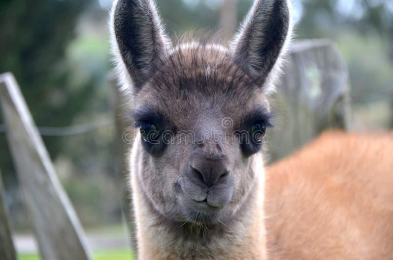 Sluit omhoog van een babylama stock fotografie
