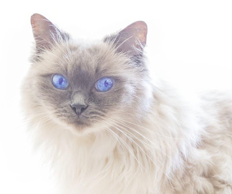 Sluit omhoog van een blauwe kat van colorpointragdoll royalty-vrije stock afbeeldingen