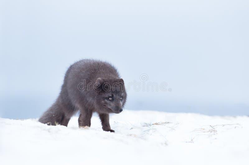 Sluit omhoog van een Blauwe morph mannelijke poolvos in de winter stock fotografie