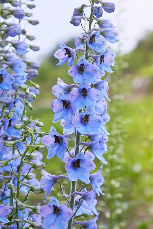 Sluit omhoog van een bloem van ridderspoorelatum in bloei stock foto's
