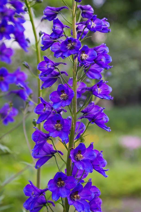 Sluit omhoog van een bloem van ridderspoorelatum in bloei royalty-vrije stock afbeeldingen