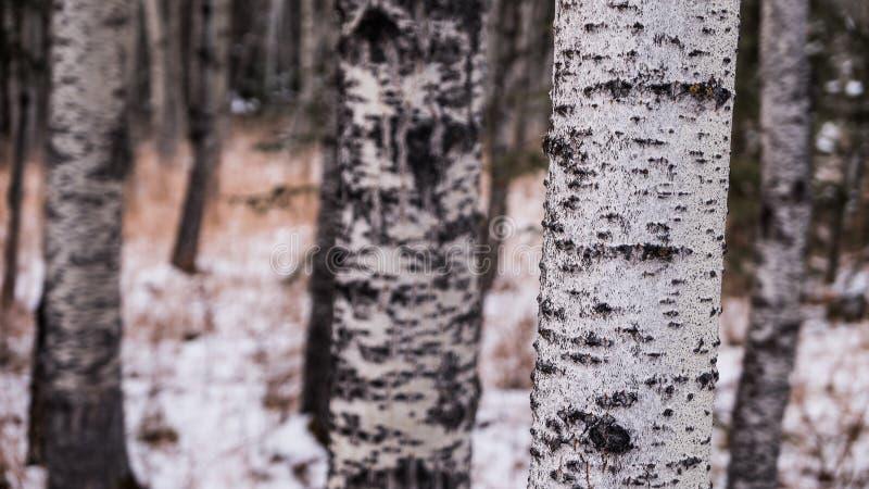 Sluit omhoog van een boomstam van de Espboom stock foto
