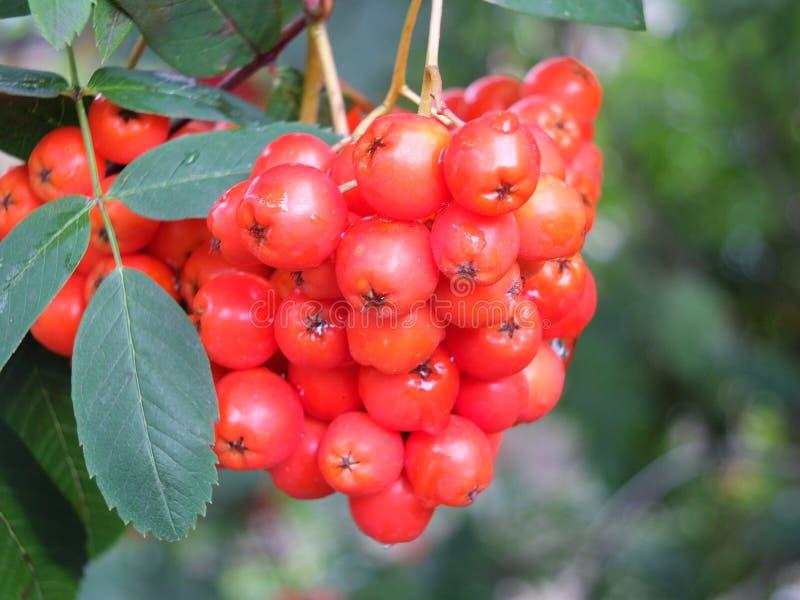 Sluit omhoog van een bos van heldere rode lijsterbessenbessen kwekend wildernis op een struik in bos met regendruppels stock afbeelding