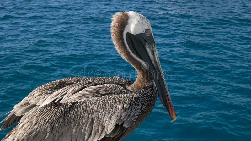Sluit omhoog van een bruine pelikaan dichtbij isla San cristobal in de Galapagos royalty-vrije stock afbeeldingen