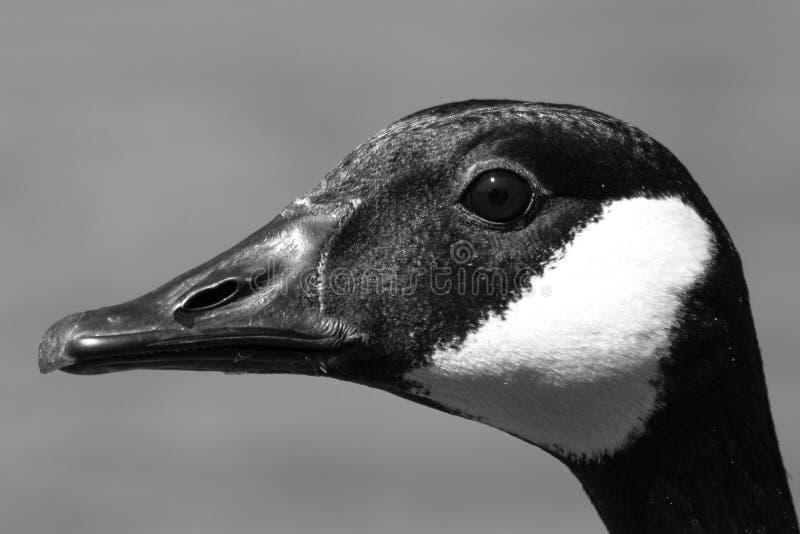 Sluit omhoog van een Canadese canadensis van Gansbranta in zwart-wit stock foto