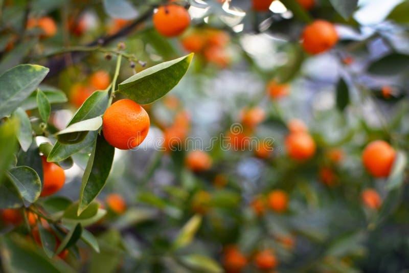 Sluit omhoog van een de Citrusboomsinaasappel van Calamondin Citrofortunella Macrocarpa met onscherpe vruchten en bladeren op de  royalty-vrije stock foto's
